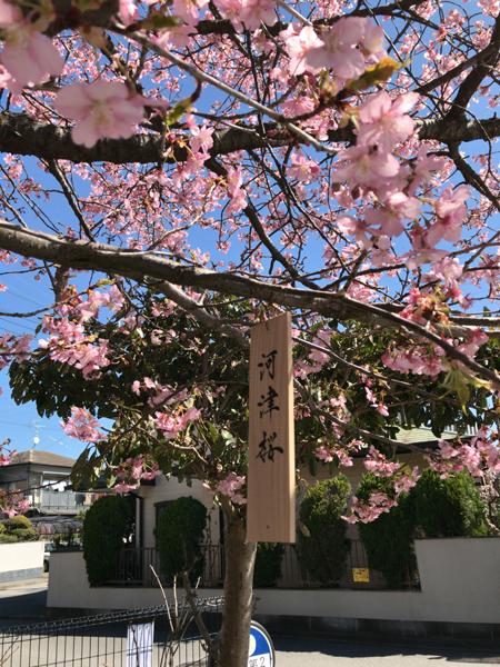 櫻木神社の桜