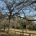 清水公園桜現在