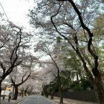 清水公園の桜並木道